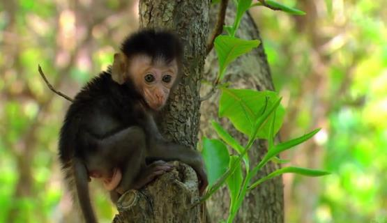 Survivor 31 monkey baby