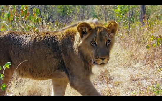 amazing race lion